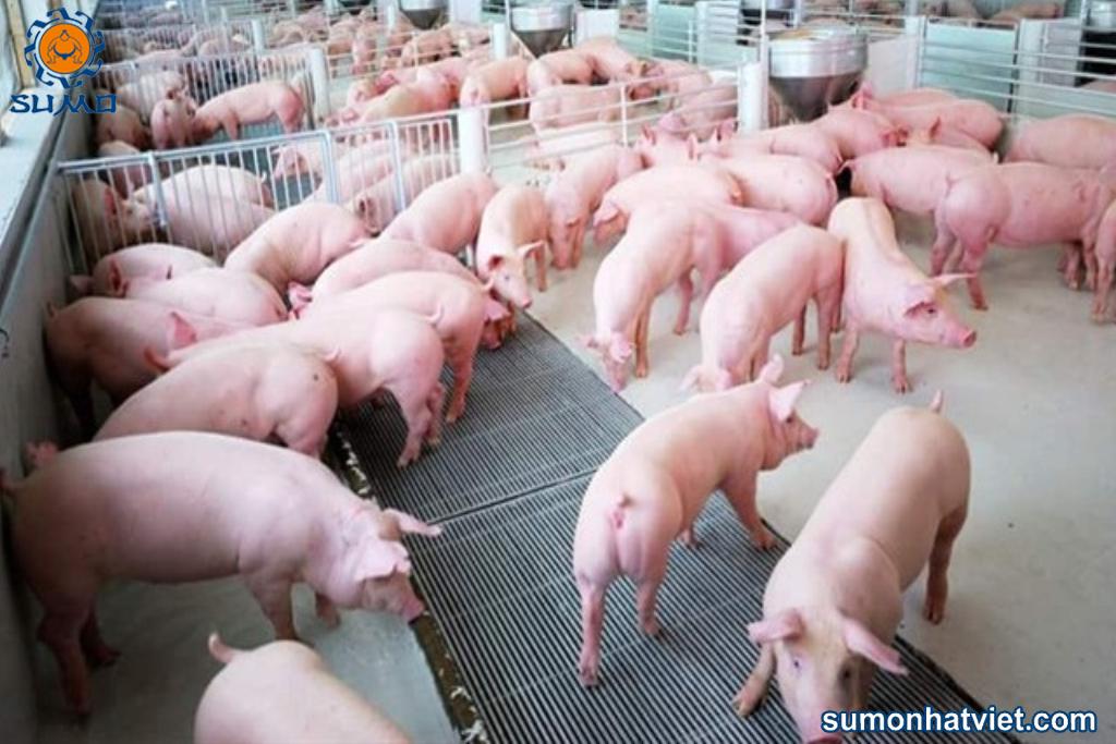 Sử dụng chế phẩm vi sinh nuôi lợn là giải pháp an toàn phòng dịch tả