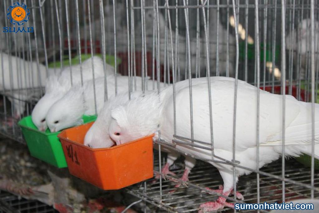 Kết hợp premix khoáng trong thức ăn cho chim bồ câu