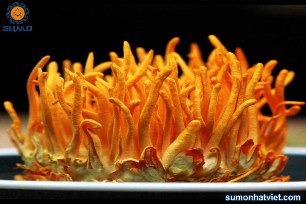 Đông trùng hạ thảo nguyên khối Sumo