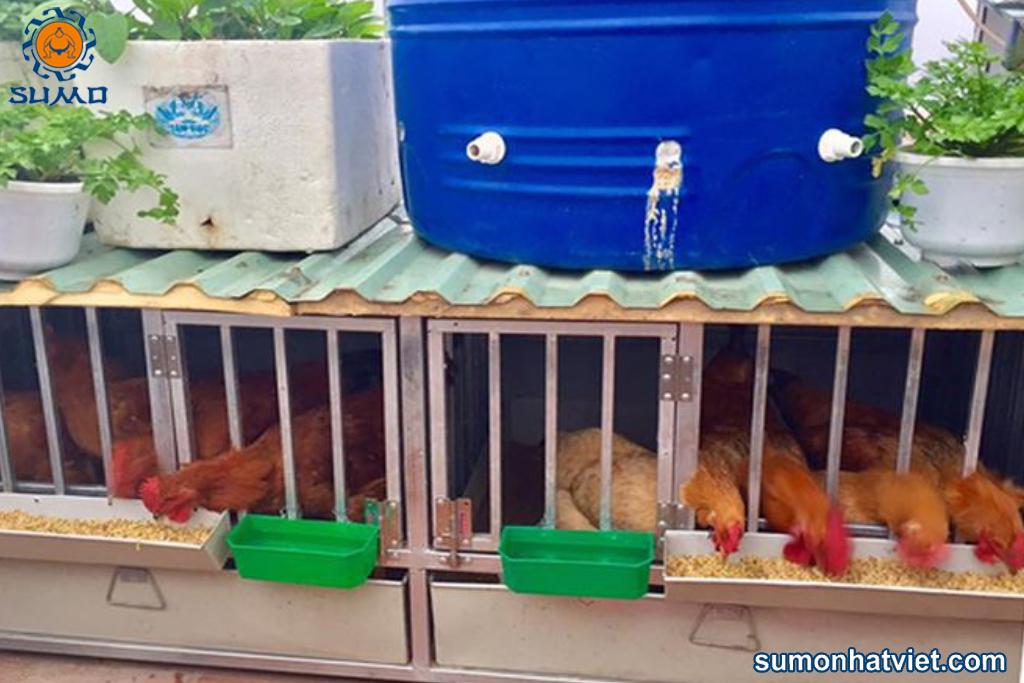 có nên nuôi gà trên sân thượng | Món Miền Trung