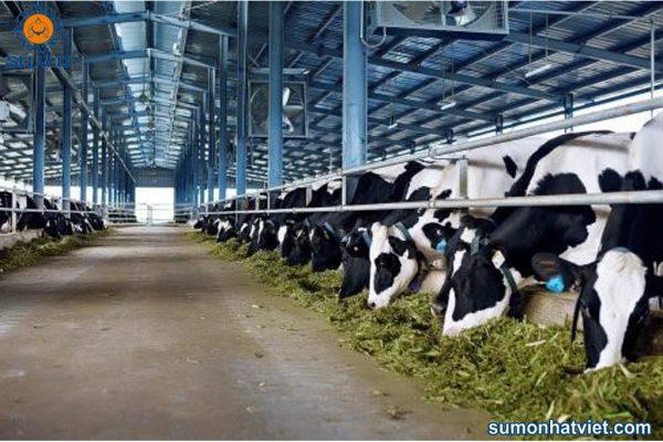 Gia súc ăn thức ăn từ chế phẩm EM