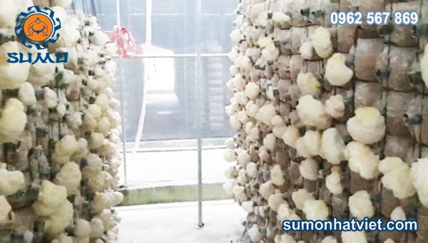 Nấm hà thủ tươi sumo