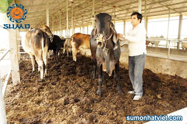 Một số điều cần lưu ý khi làm đệm lót sinh học nuôi bò