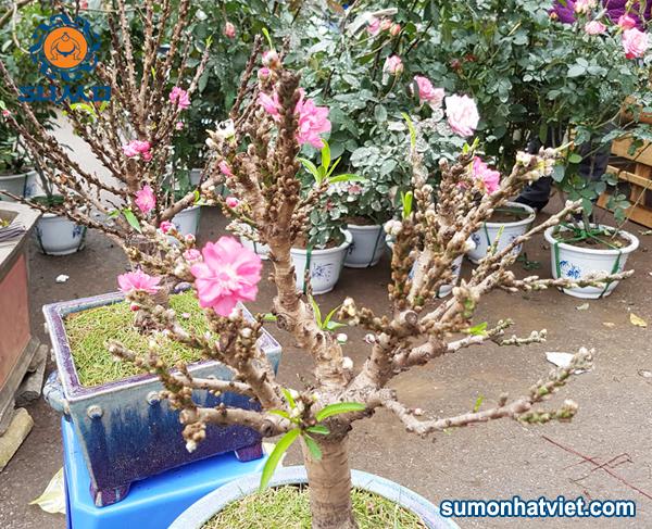 đào Thất Thốn bonsai