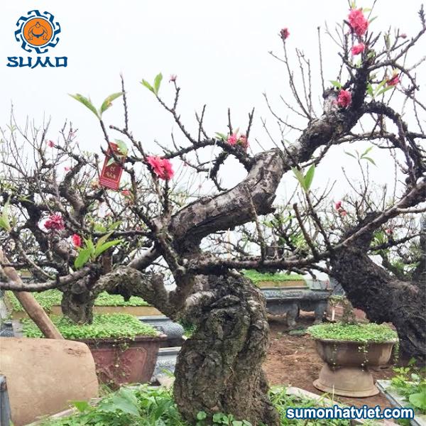 Cây đào Thất Thốn bonsai