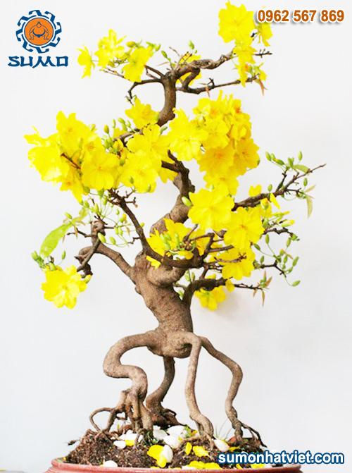 cây mai ngày tết